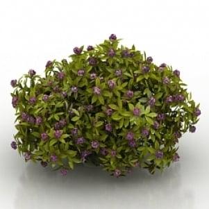 Flower Daphne Odora Aureomarginata