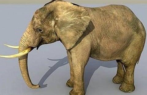 Aasia Elephant