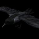 Crow Free 3d Model