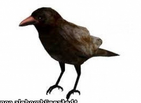 Pájaro cuervo