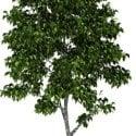 Nature Birch Tree
