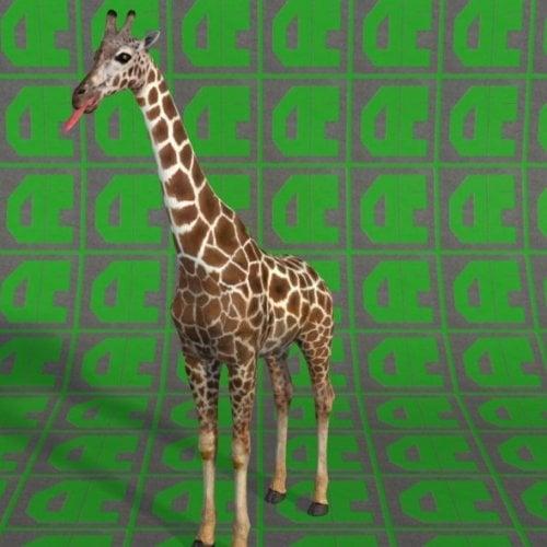 Giraffe Animal