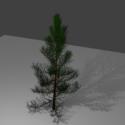 طبيعة شجرة عيد الميلاد الصنوبر
