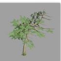 Curved Pine Tree