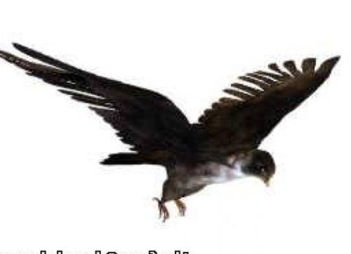 Pájaro halcón