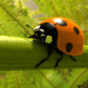 Realistic Ladybird