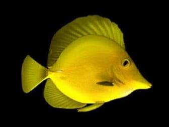 Keltainen kala
