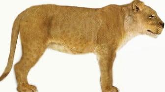 Realistic Lioness Animal