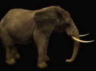 Afrikkalainen norsu