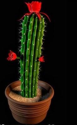 Kasvit kaktus kukka