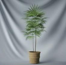 Bonsai Free 3d Max Model Tree Leaves