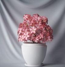 Bonsai saflori