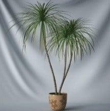 Bonsai Small Pine Tree