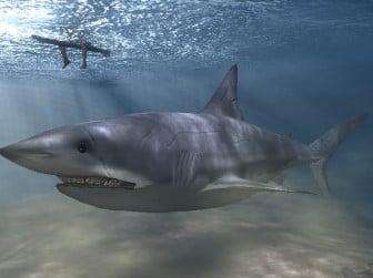 Meg Shark