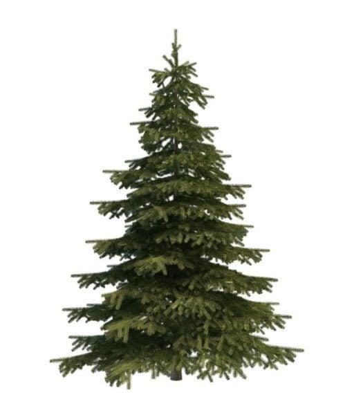 Mountain Spruce Tree