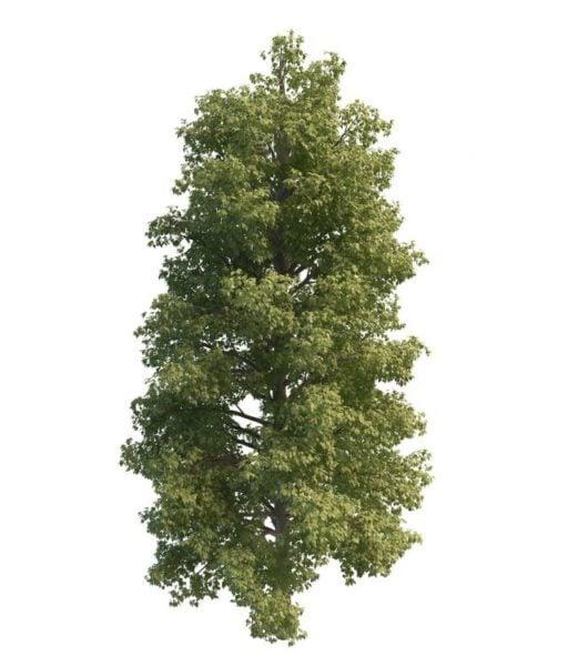Tavallinen limepuu