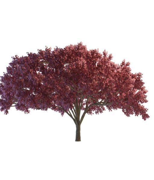 Dark Red Maple Tree