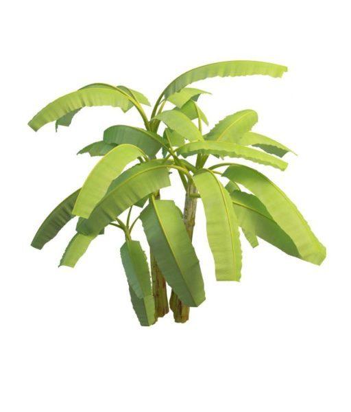 Banaanikasvit