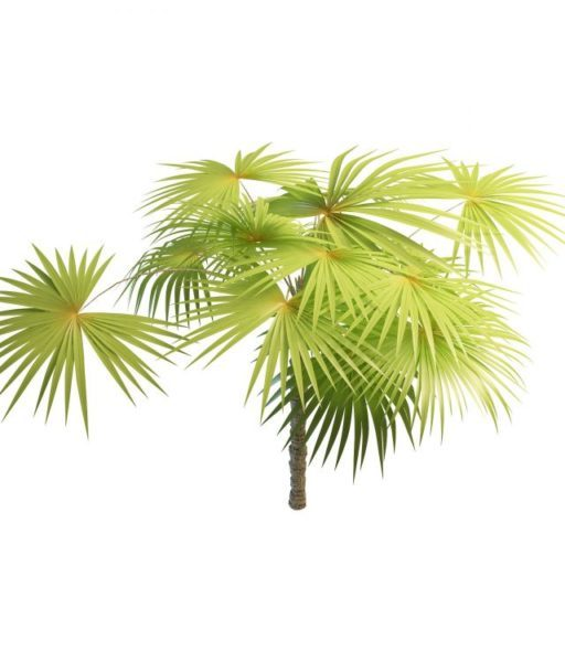 Latania Fan Palm Tree