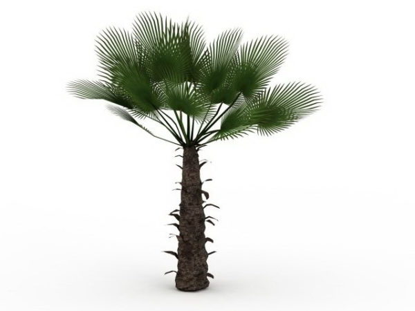 Chusan Palm Tree