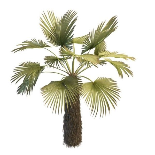 Trachycarpus Palm Tree