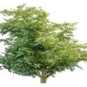 Variegated Leaf Tree