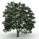 American Basswood Tree