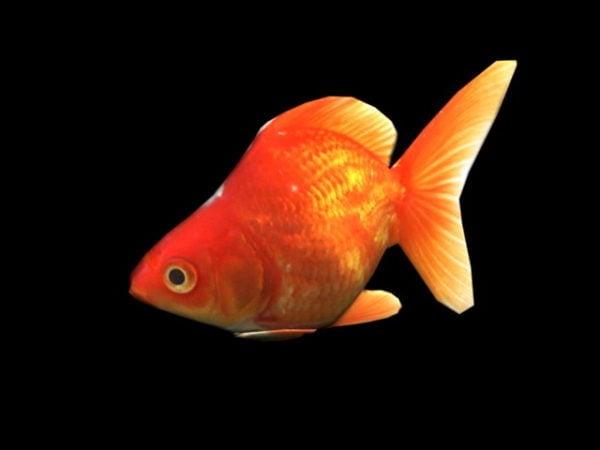 Oranssi kultakala