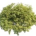 Arbusti che bruciano la pianta di Bush