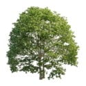 Us White Ash Tree