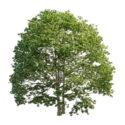 Us White Ash Tree