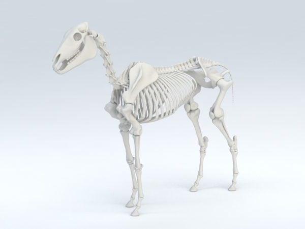 Hevosen luuranko