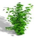 Maple Leaf Shrub