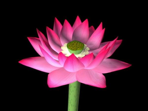 زهرة اللوتس الجميلة