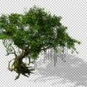 Stare drzewo Banyan