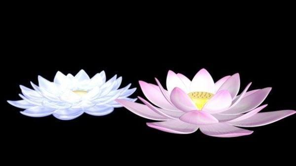 الوردي والأبيض لوتس الزهور