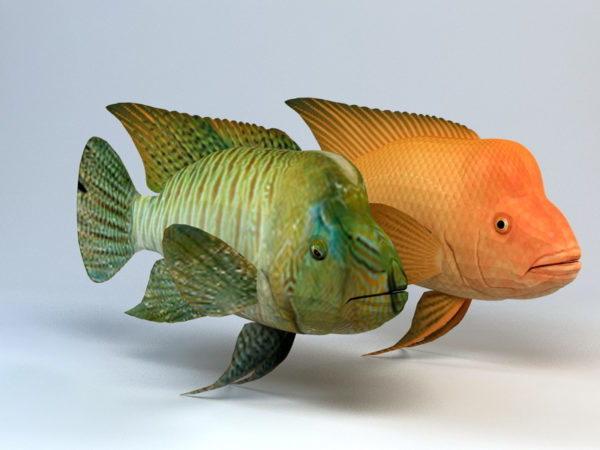 Kumpupään Wrasse-kala