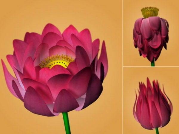 تزهر زهرة اللوتس
