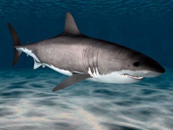 القرش الابيض الكبير