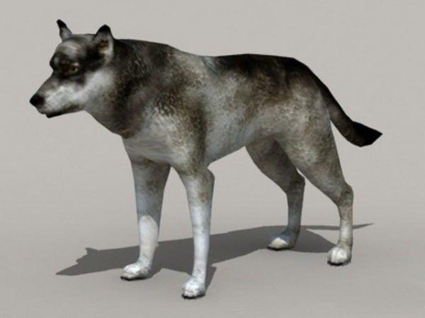 Animal Gray Wolf
