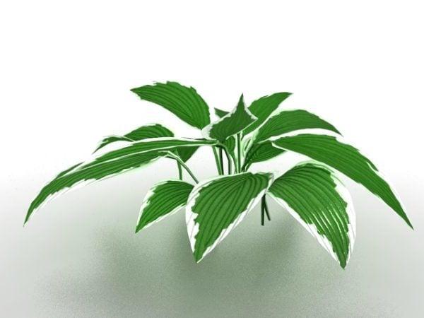 Dieffenbachia House Plant