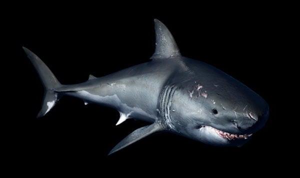 عظيم القرش الابيض تلاعب