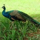 Indisches Peafowl-Tier
