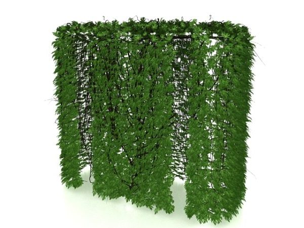 Ivy Hedge