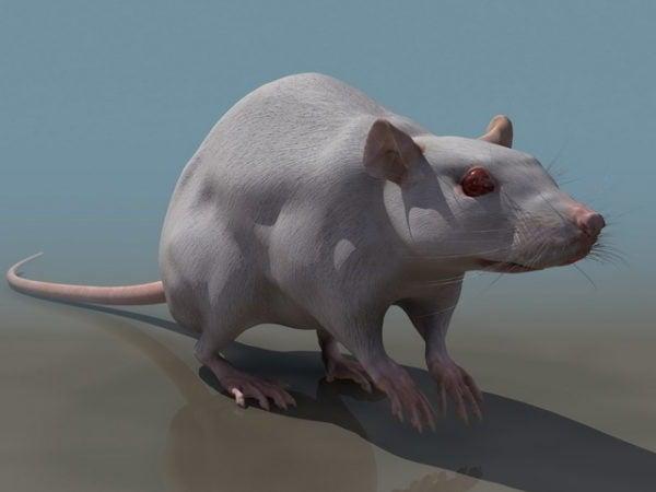 Eläinlaboratorion rotta