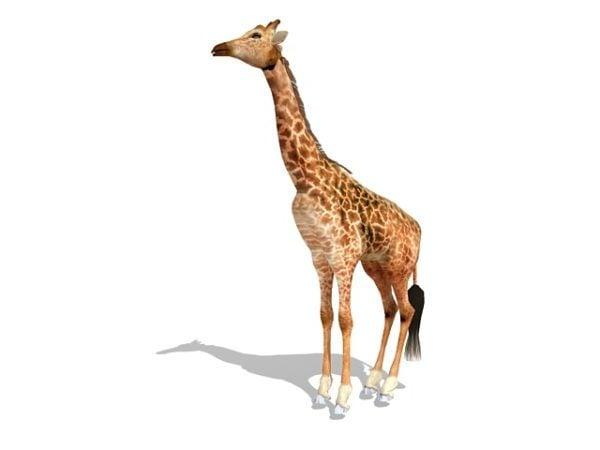 Masai Giraffe Animal