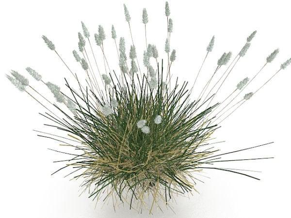 Phragmites Grass