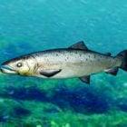 Somon Balık Teçhizatı