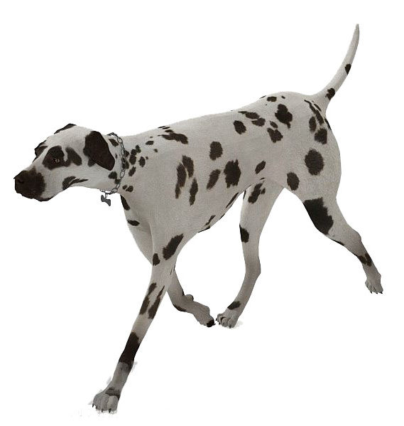 Spotted Dog Animal