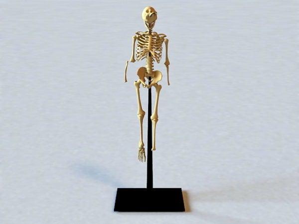 تشريح جسم الإنسان الهيكل العظمي